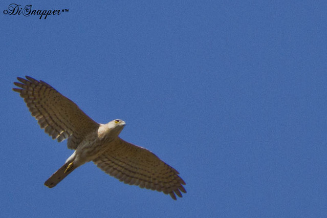 Shikra female in flight