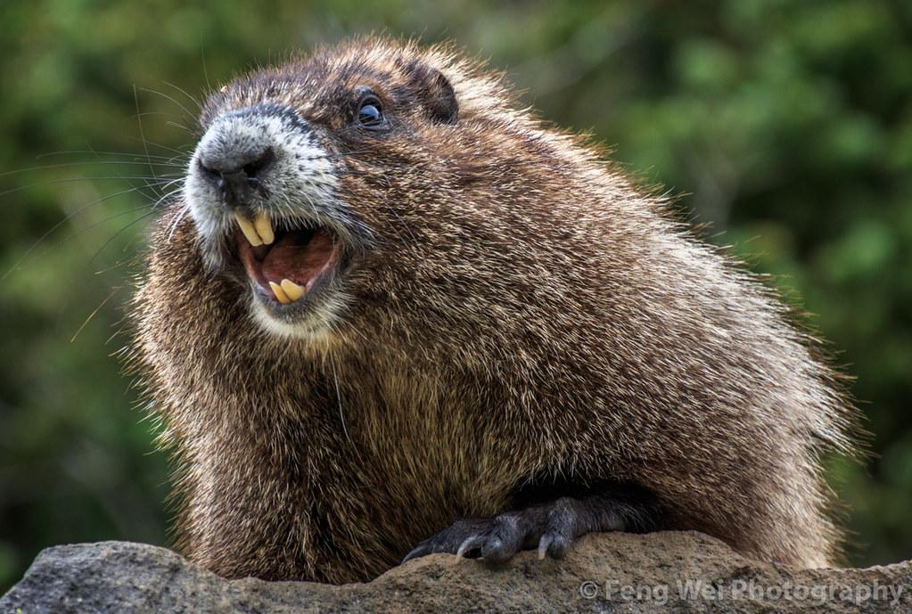 whistling hoary marmot  mount rainier national park  washi