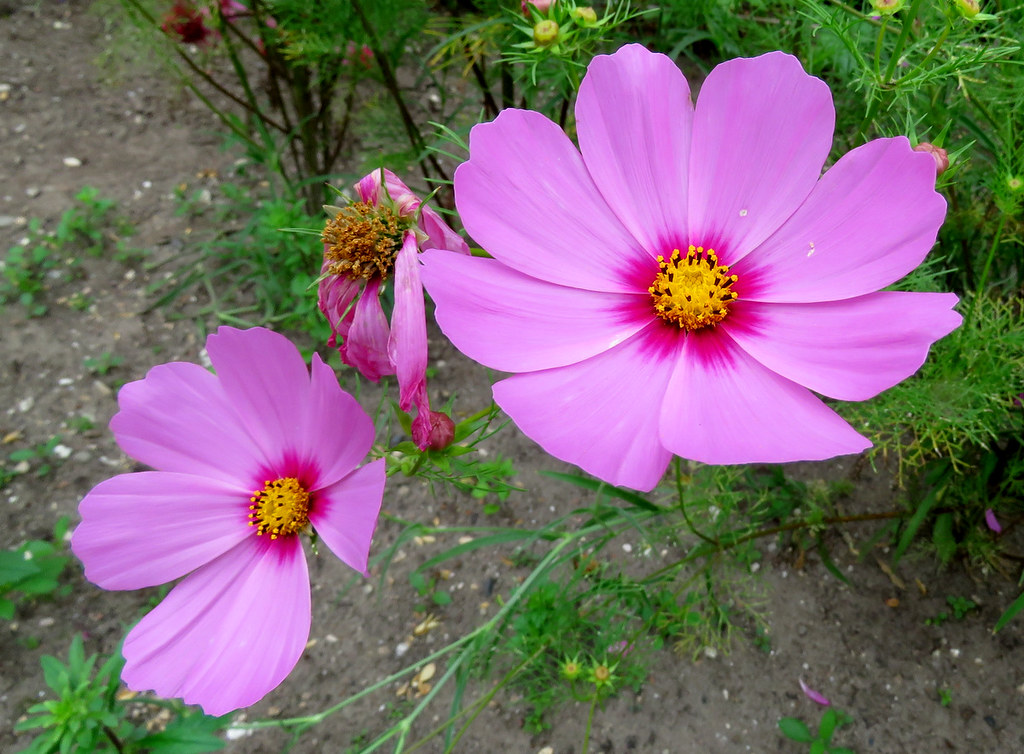 Have A Nice Weekend Cosmea Of Cosmos Bipinnatus Toen Ik Flickr