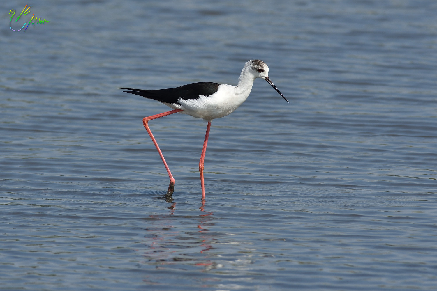 Black-winged_Stilt_8638