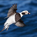 Long-Tailed Duck (drake) Banking