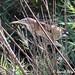 1.02014 Blongios nain / Ixobrychus minutus podiceps / Little Bittern