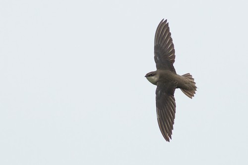 Chimney Swift - Texas | by bonxie88