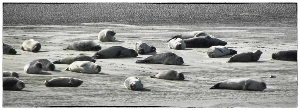 Seehundbänke zwischen Norddeich und Norderney   Steffi   Flickr