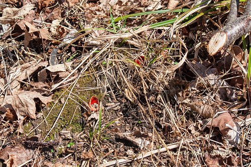 Scarlet Elf Cup Fungus (Sarcoscypha spp.)
