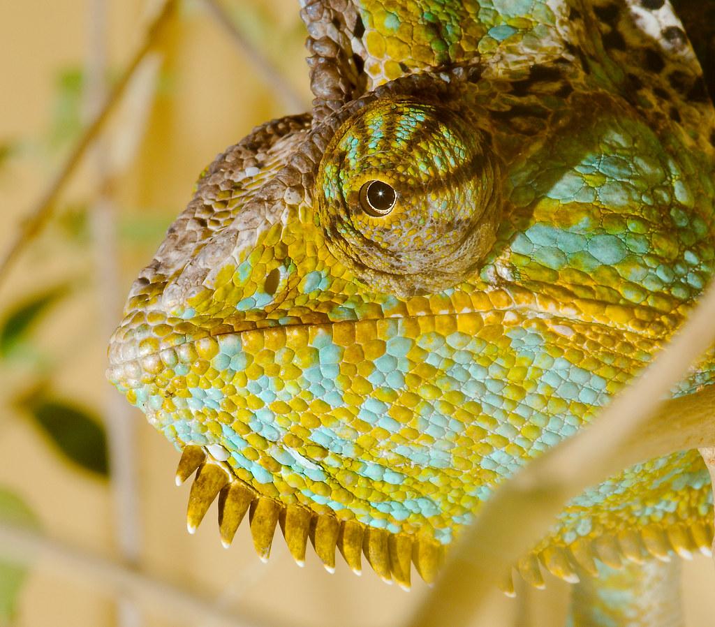 Veiled chameleon (Chamaeleo calyptratus)_2