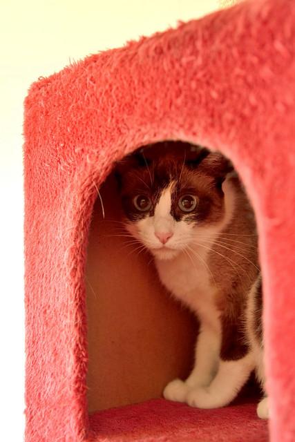 Ummi, gata Siamesa tricolor muy dulce y juguetona tímida nacida en 2013, en adopción. Valencia. ADOPTADA. 29687466370_c82c5b4304_z