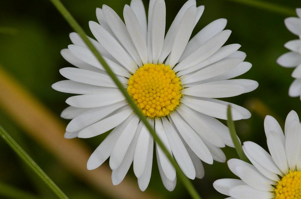 Margherita la margherita una pianta perenne diffusa for Margherita pianta
