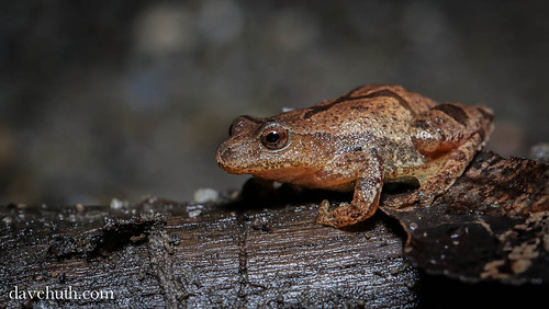 Spring Peeper (Pseudacris crucifer) - on the roadside | by DaveHuth