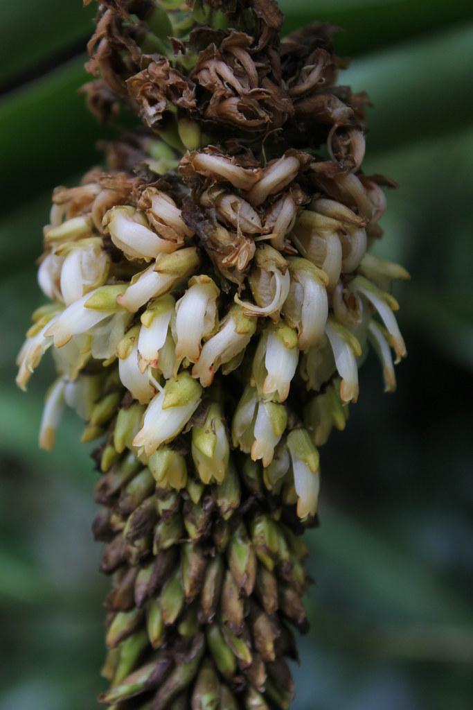 Pleuranthodium racemigerum Zingiberaceae Orange Fruited Gi