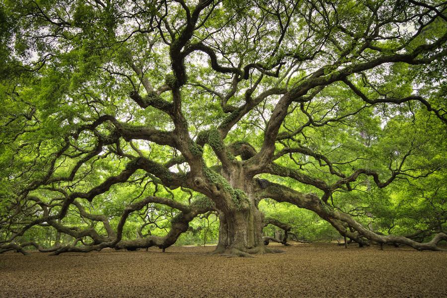 Angel Oak The Deservedly Famous Angel Oak Tree Outside