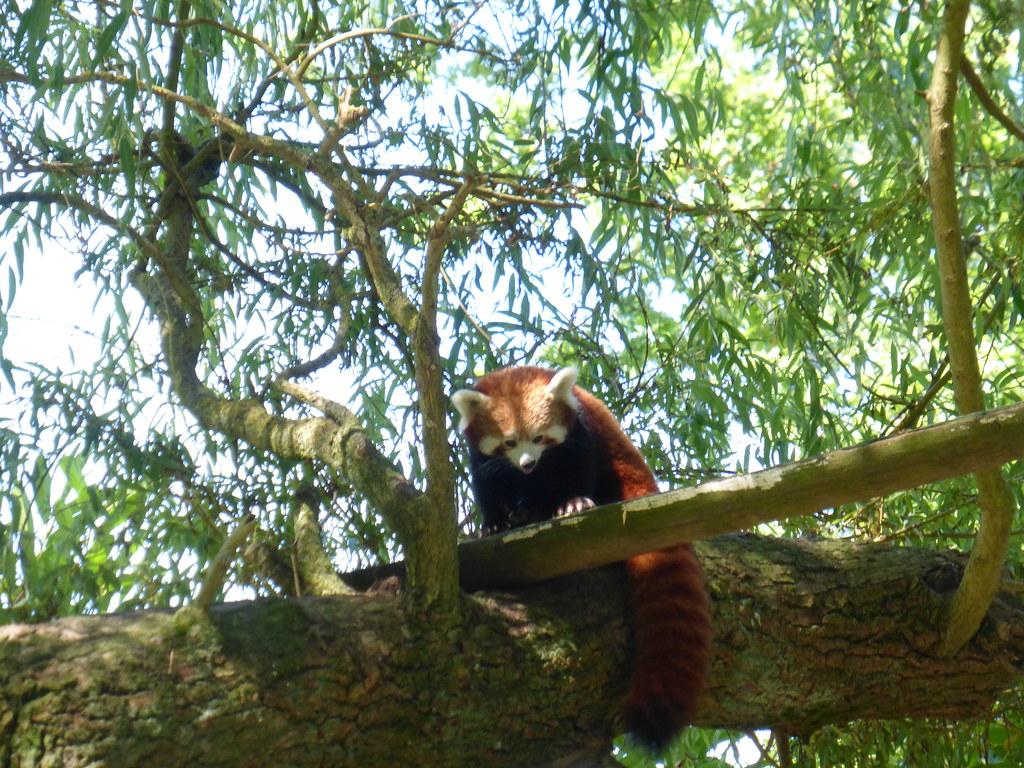 Visite au parc zoologique de thoiry 78 panda roux for Parc zoologique 78