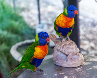 Lorikeets in the Parrot Playhouse | by donjd2