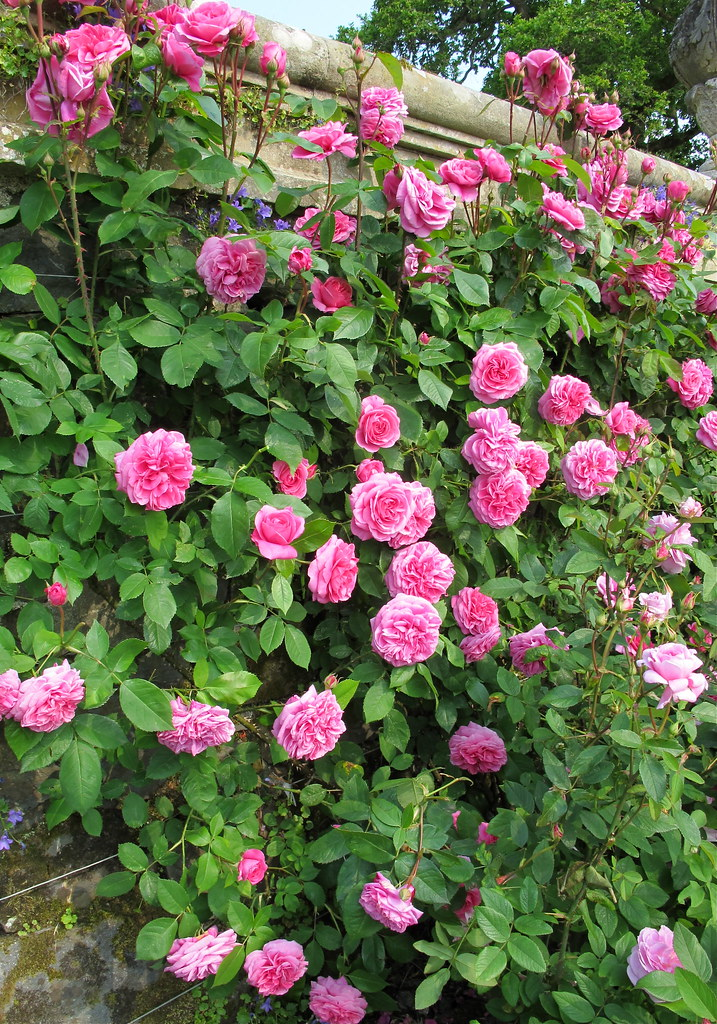 gertrude jekyll climbing rose fragrant climbing rose. Black Bedroom Furniture Sets. Home Design Ideas