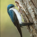 Tree Swallow at nest cavity