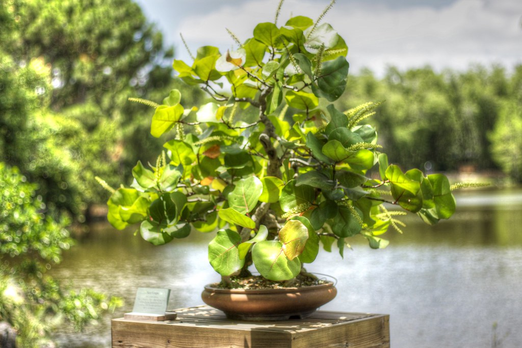Sea Grape Bonsai Scott Baker Flickr