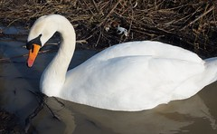 Swan, Cosmeston Lakes