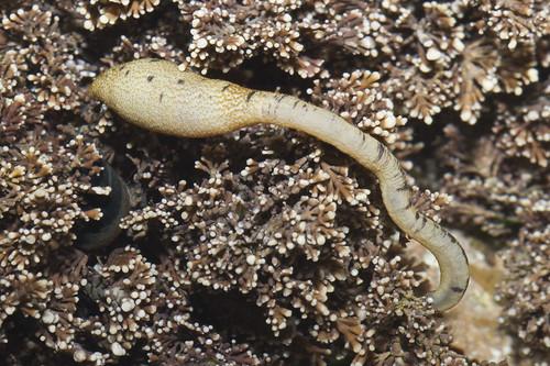 Phasocolosoma agassizii, Agassizi's Peanut Worm