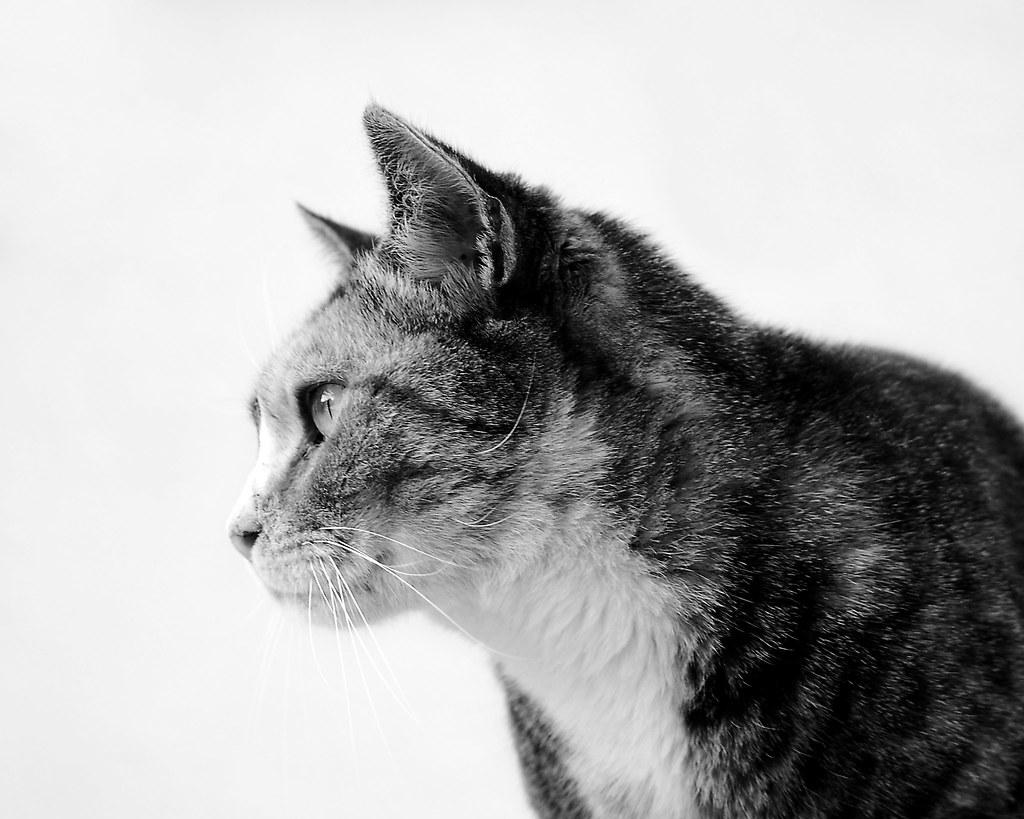 Black And White Cat Larah Mcelroy Flickr