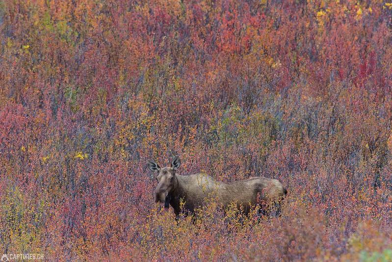 Moose - Tombstone Territorial Park