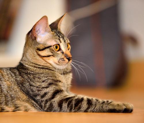 Muriel, gatita atigrada parda tímida y dulce esterilizada, de ojos cobrizos, nacida en Abril´16, en adopción. Valencia. 29613328955_e2c6497e85