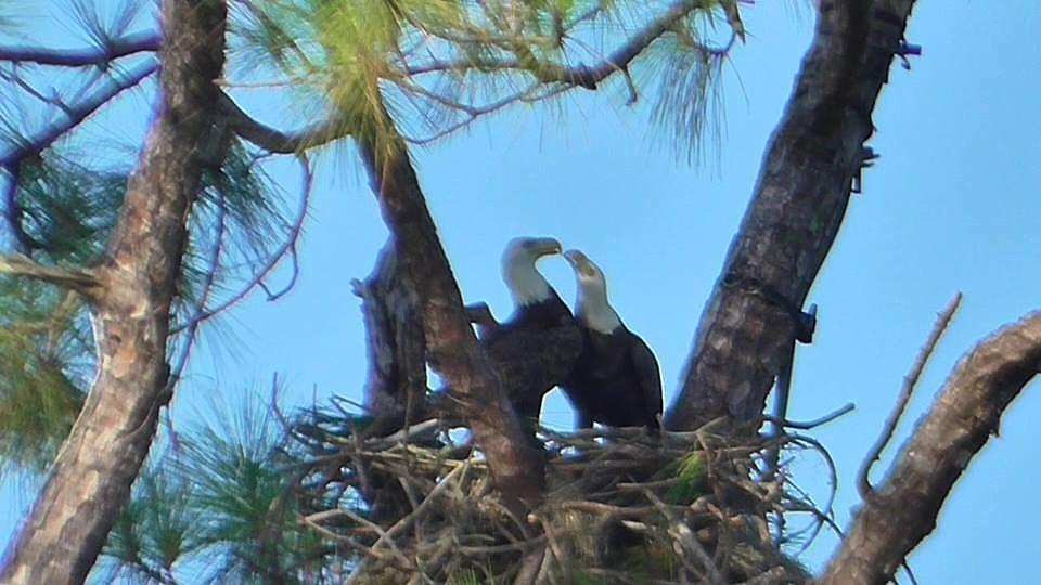 Swfl Eagle Cam >> SWFEC Nest Building 9-17-16 | Above: M15 beaks Harriet. Phot… | Flickr