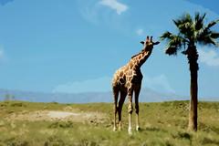 Cutouts of a Giraffe