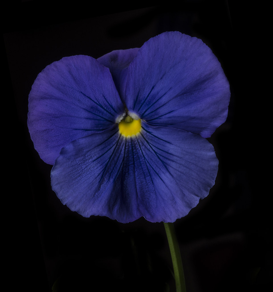 Blue Pansy With A Yellow Center When I Lit This Flower I D Flickr