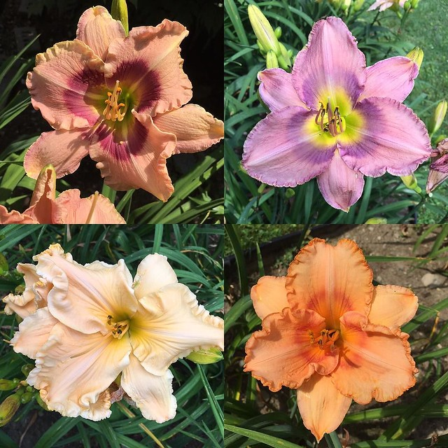 More #daylilies at Hold'n Heaven.