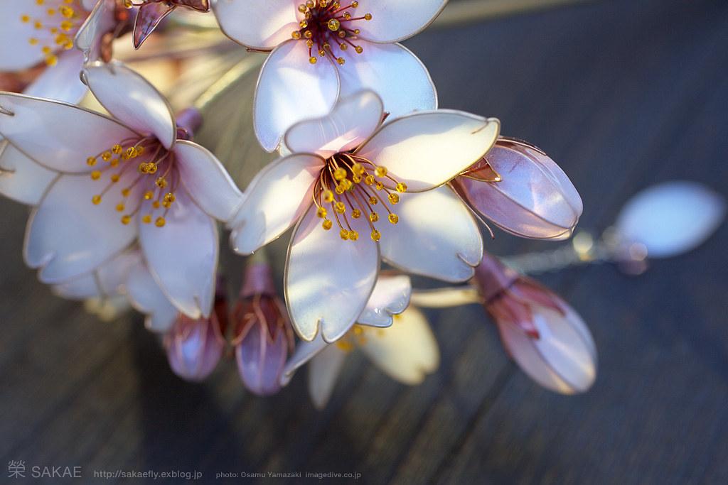 2013 桜 簪【 明けの桜 】cherry Blossom 01 Photo By Osamu
