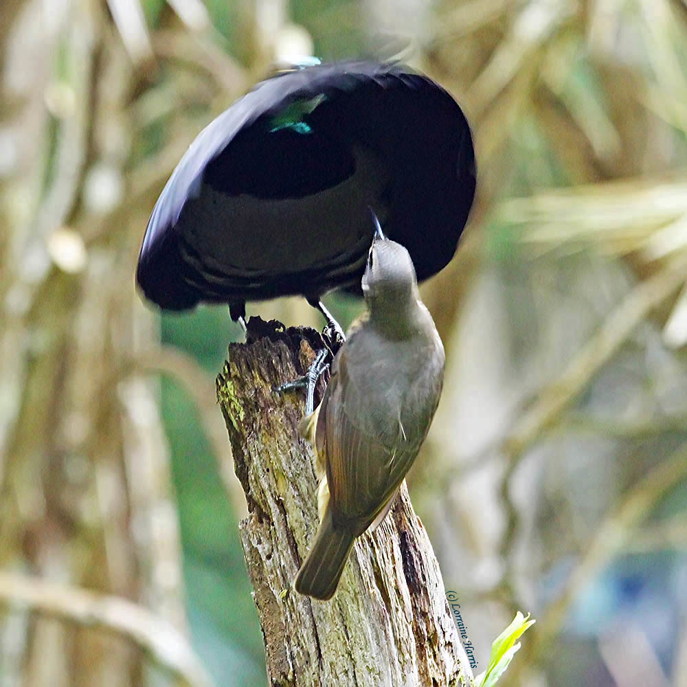 Victoria S Riflebird Pair Courtship Towards The End Of A