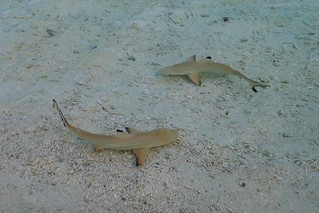 Baby Sharks | by timo_w2s
