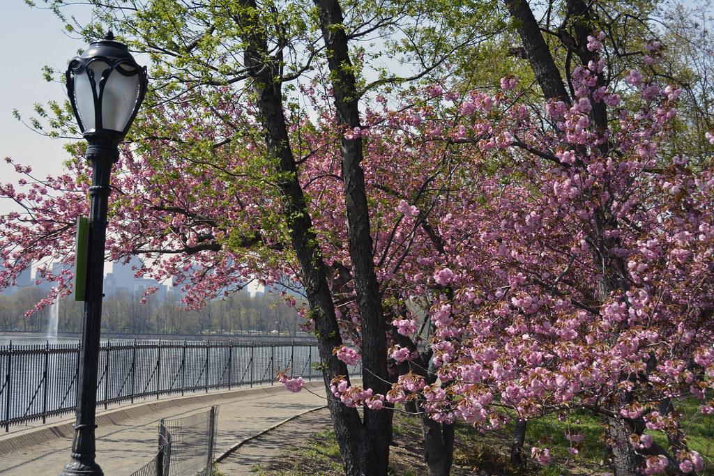 Photo of pink cherry blossom tree flowers starting to bloo flickr photo of pink cherry blossom tree flowers starting to bloom in central park near the mightylinksfo