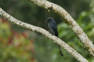 Ashy Drongo | by christopheradler