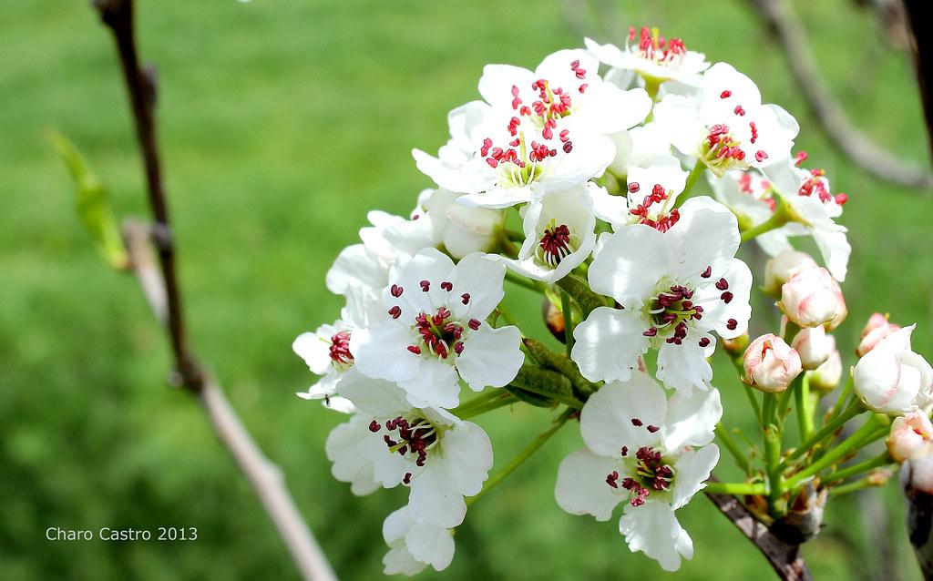 Flor de peral | La esperanza es un árbol en flor que se ...
