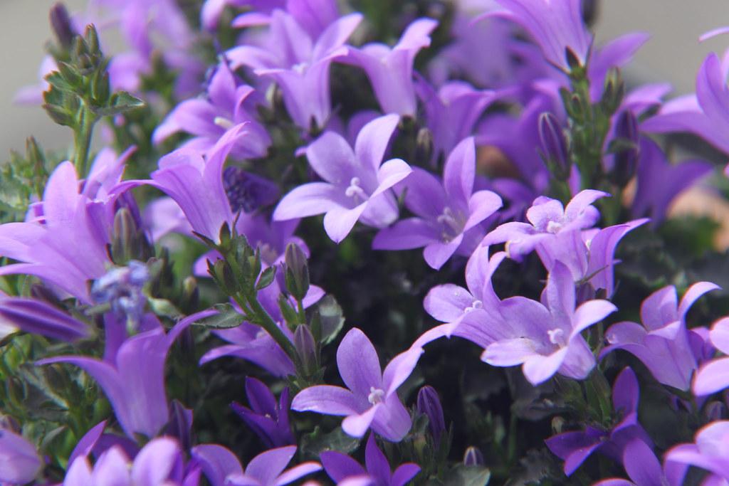 Fiori lilla questi sono alcuni dei fiori del mio balcone for Fiori da ombra perenni