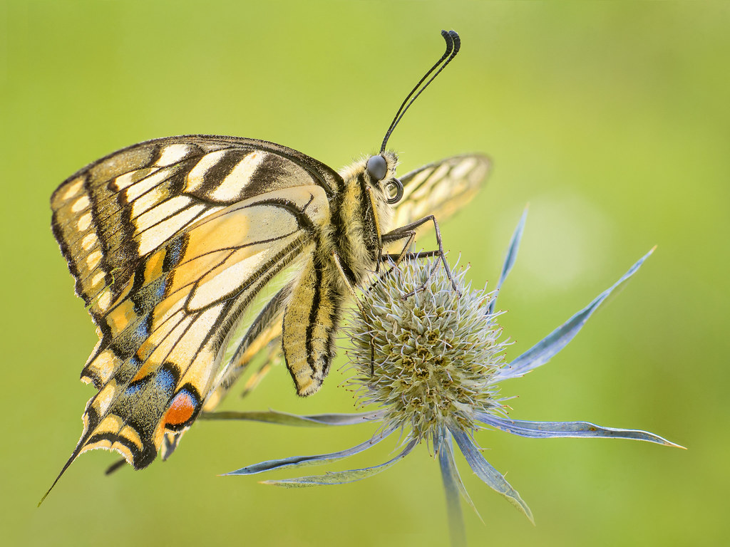 Paź królowej (Papilio machaon) najpiekniejszy motyl