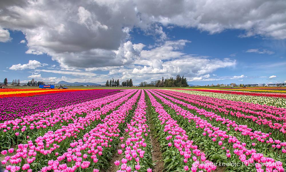 Tulip Festival In Mount Vernon Washington Online