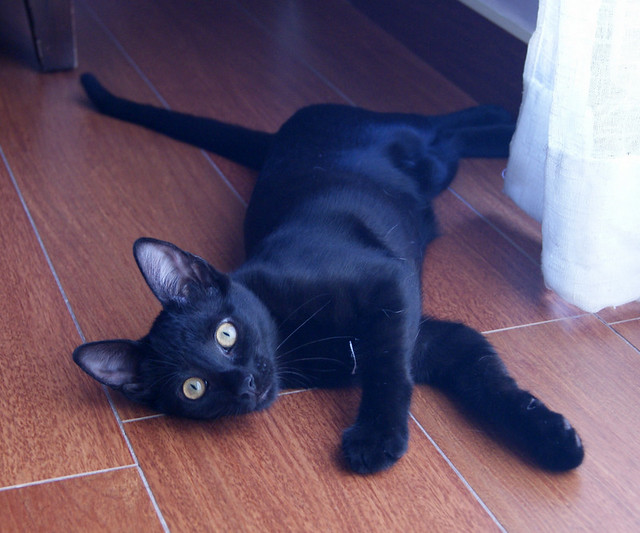 Selva, gatita Pantera guapa, estilizada y divertida esterilizada, nacida en Mayo´16, en adopción. Valencia. ADOPTADA. 29129815471_ceb00c14ab_z