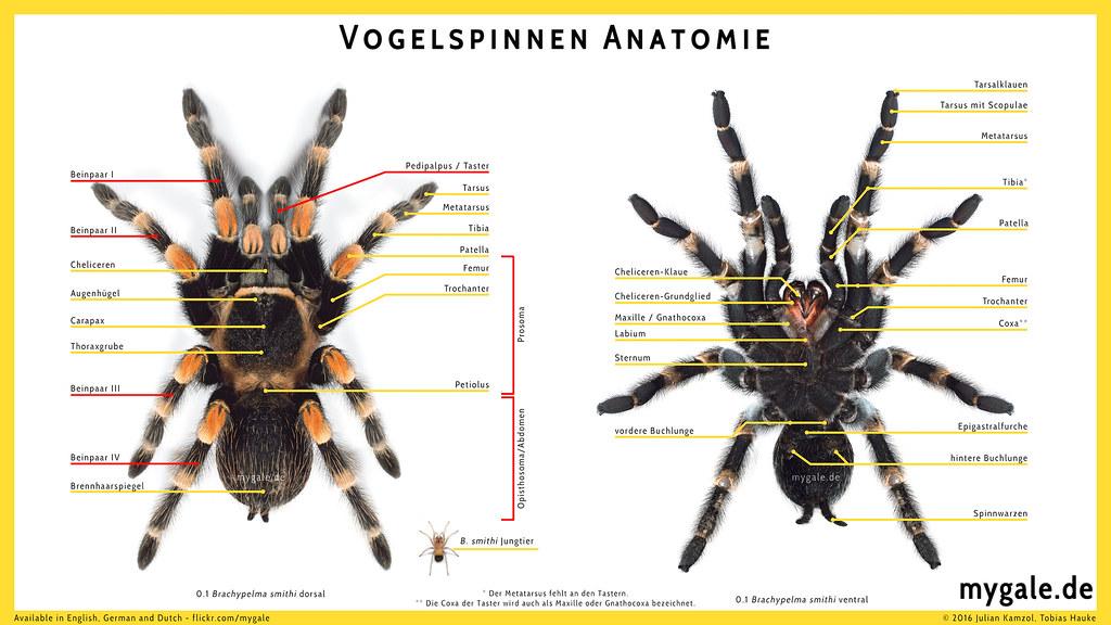 Vogelspinnen Anatomie - klein | Available in English, German… | Flickr
