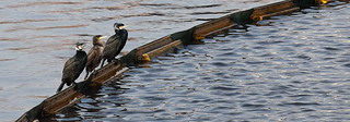The resident cormorants of Salford Quays | by dirky1952