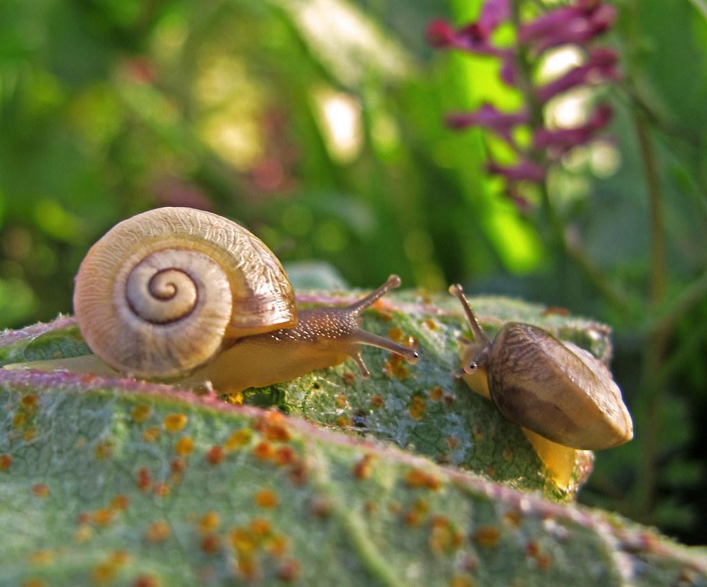 Dos caracoles sobre la roya de las malvas seguro que for Caracol de jardin