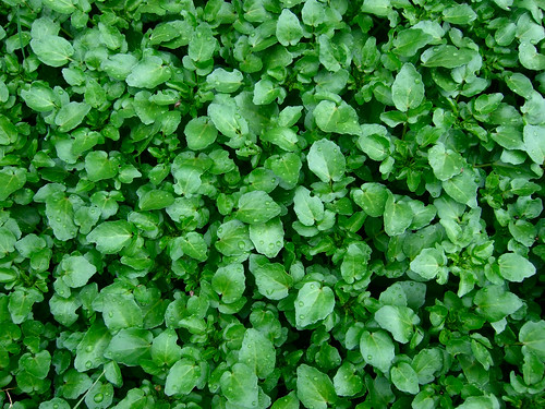 Watercress | by Wendell Smith