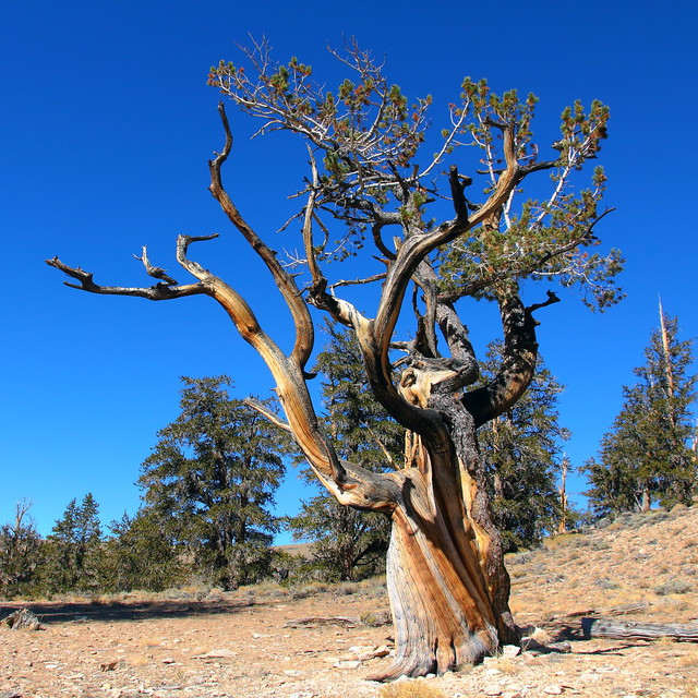 IMG_1927 Great Basin Bristlecone Pine, Inyo National Forest