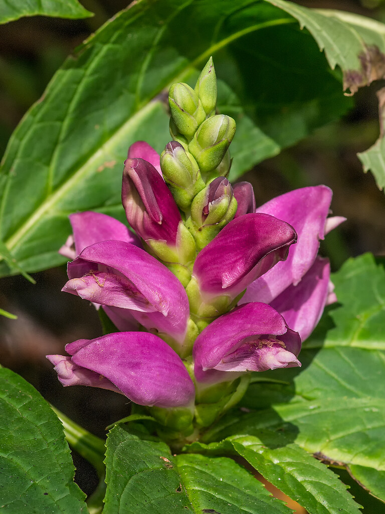 Red Turtlehead