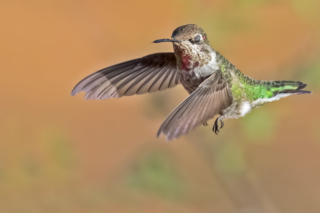 Broad-tailed-Hummer-2-7D2-100316