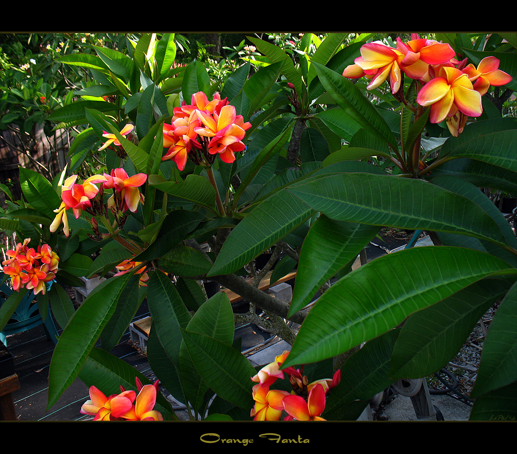rare flowers the plumeria orange fanta here is another