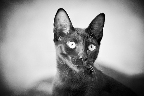 Selva, gatita Pantera guapa, estilizada y divertida esterilizada, nacida en Mayo´16, en adopción. Valencia. ADOPTADA. 29727648010_01b4e84ae4