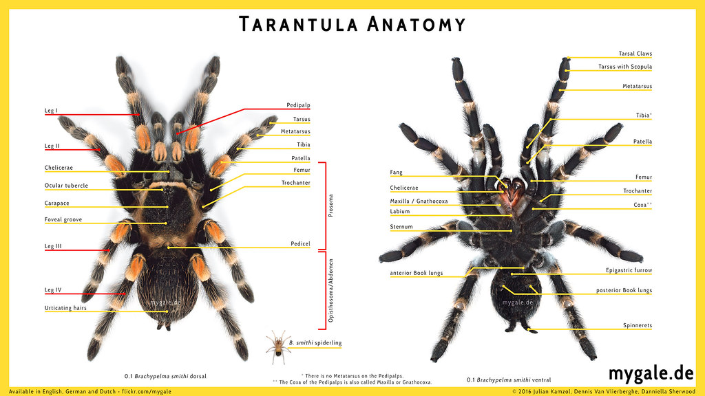 Male spider anatomy