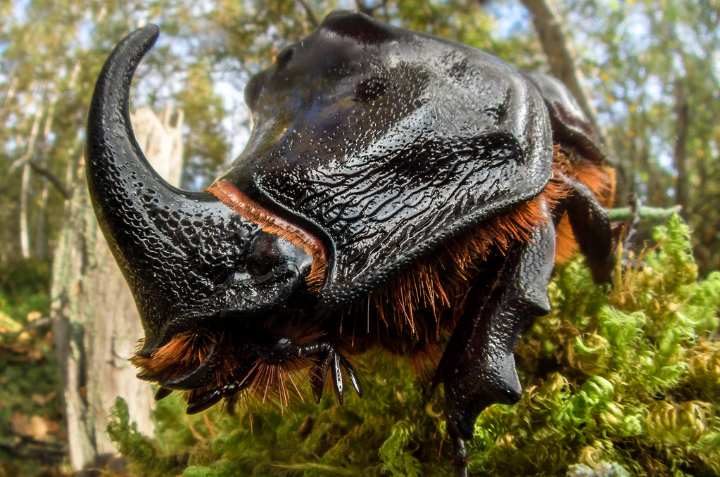 Diy Macro Fisheye Oryctes Nasicornis European Rhinocero Flickr